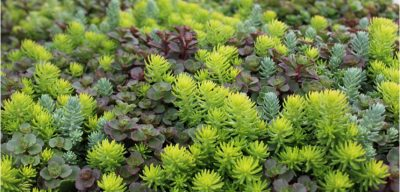 ground cover sedum